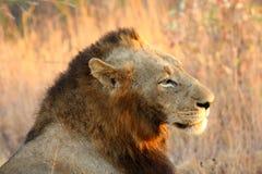 Leão em areias de Sabi Foto de Stock