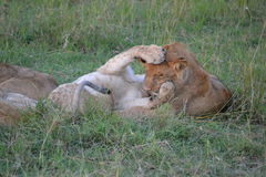 Leão em Maasai Mara, Kenya foto de stock royalty free
