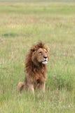 Leão em Ngorongoro fotografia de stock royalty free