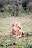 Leão em repouso fotos de stock royalty free