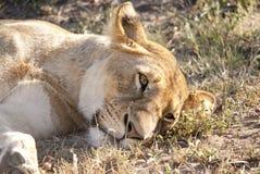 Leão em repouso, contudo vigilante Imagens de Stock Royalty Free