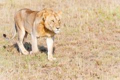 Leão em Serengeti Imagens de Stock