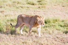 Leão em Serengeti Fotografia de Stock