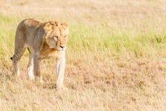 Leão em Serengeti Imagens de Stock Royalty Free