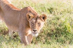 Leão em Serengeti Fotos de Stock
