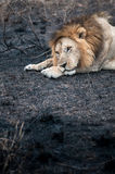 Leão em um field_2 queimado imagem de stock royalty free