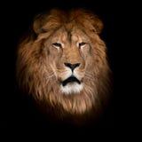 Leão em um fundo preto Imagens de Stock Royalty Free