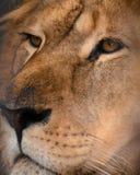Leão em um fundo preto Imagens de Stock