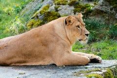 Leão em um parque Foto de Stock Royalty Free