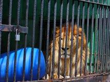 Leão em uma gaiola Foto de Stock Royalty Free