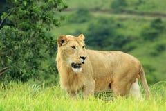 Leão em uma reserva do jogo em África do Sul Imagens de Stock Royalty Free