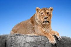 Leão em uma rocha Fotos de Stock Royalty Free