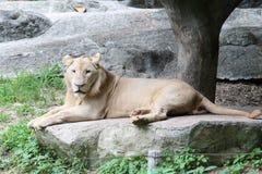 Leão em uma rocha grande Fotos de Stock