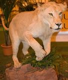 Leão enchido Fotografia de Stock