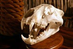 Leão esqueletal Fotografia de Stock