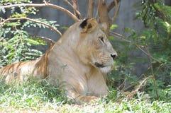 Leão fêmea Imagens de Stock