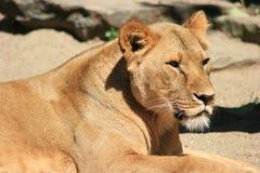 Leão fêmea Fotografia de Stock Royalty Free