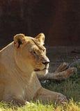 Leão fêmea Imagens de Stock Royalty Free