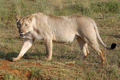 Leão fêmea Fotos de Stock Royalty Free