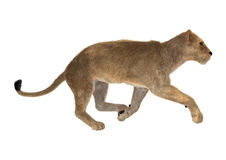 Leão fêmea Imagem de Stock Royalty Free