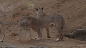 Leão fêmea e filhotes de um ano brincalhão vídeos de arquivo