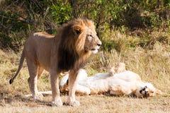 Leão fêmea e masculino Fotos de Stock
