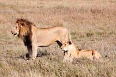Leão fêmea e masculino Fotografia de Stock