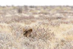 Leão fêmea em Namíbia foto de stock royalty free