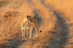 Leão fêmea no Masai Mara Fotos de Stock