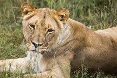Leão fêmea no savana de África Fotografia de Stock