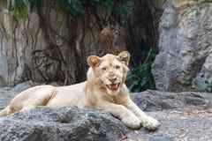 Leão fêmea que senta-se na rocha Fotos de Stock Royalty Free