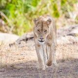 Leão focalizado que anda para a câmera Imagens de Stock
