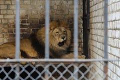 Leão grande foto de stock royalty free