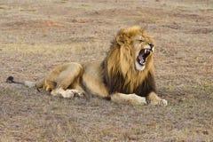 Leão impressionante imagens de stock