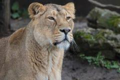 Leão indiano Leoa fêmea asiática fotografia de stock