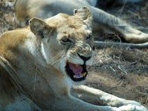 Leão irritado Fotografia de Stock