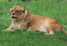 Leão irritado Imagem de Stock