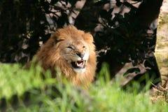 Leão irritado Fotos de Stock