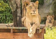 Leão, jardim zoológico, árvore, madeira, Fotos de Stock Royalty Free