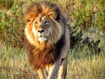 Leão magnífico na aproximação de África Imagem de Stock