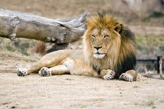 Leão majestoso Imagem de Stock Royalty Free