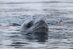 Leão-marinho antárctico Imagens de Stock