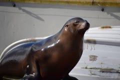 Leão-marinho californiano Foto de Stock