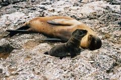 Leão-marinho da matriz e do bebê Imagens de Stock