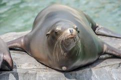 Leão-marinho em uma rocha que olha o funnie Imagens de Stock