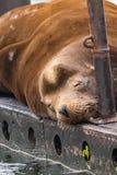 leão-marinho feliz do peacefull que dorme na doca de madeira fotos de stock royalty free