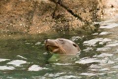 Leão-marinho no jardim zoológico de Bronx Fotografia de Stock Royalty Free