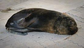 Leão-marinho preguiçoso Imagens de Stock Royalty Free