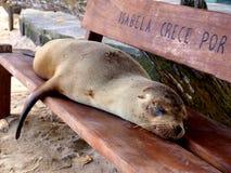 Leão-marinho preguiçoso fotos de stock