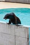 Leão-marinho que executa na mostra viva Fotografia de Stock